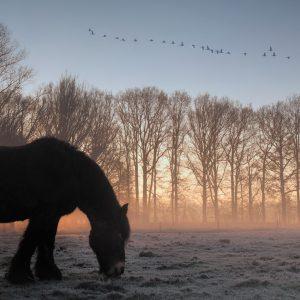 trekpaard / draft horse