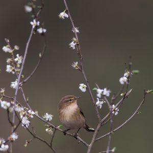 fitis / willow warbler