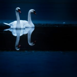 knobbelzwaan / mute swan