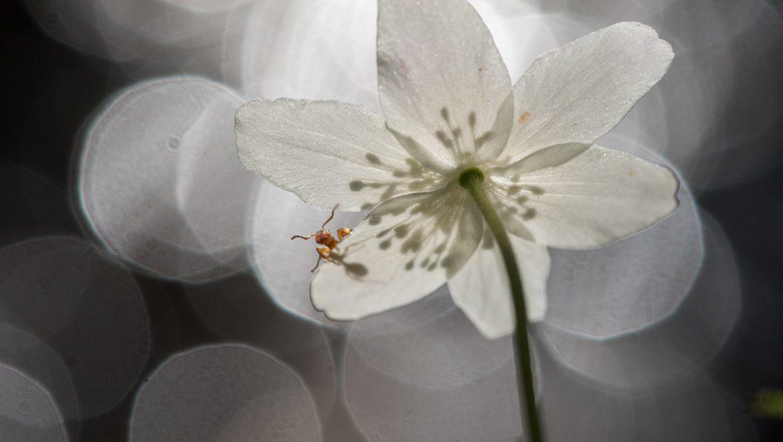 bosanemoon / wood anemone