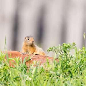 Siesel / European ground squirrel