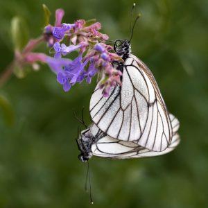 groot geaderd witje / black-veined white