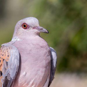 zomertortel / European turtle dove