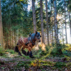 trekpaard / draught horse