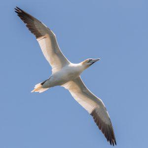 Jan van Gent/ northern gannet
