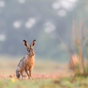 haas / hare