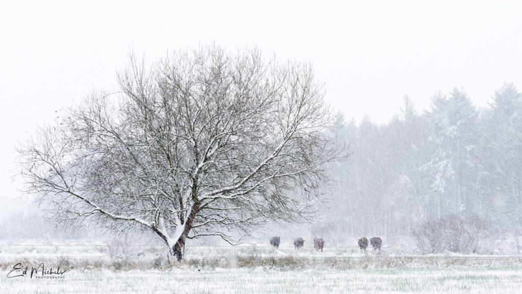 Brandrode stieren in de sneeuw