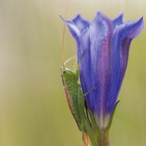 klokjesgentiaan / marsh gentian