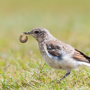 juveniel tapuit / northern wheatear