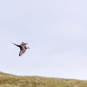 Kleinste jager / long-tailed skua