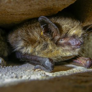 watervleermuis / Daubenton's bat